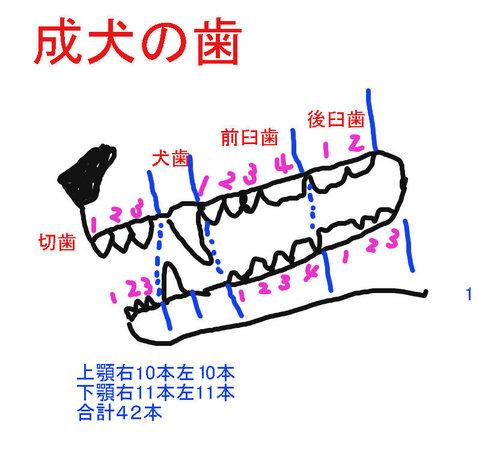 成犬の歯.jpg